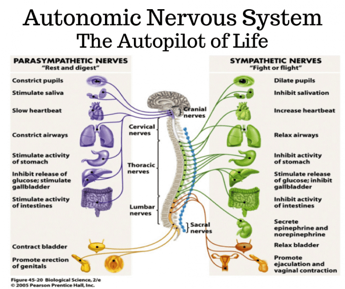 Diagram showing the functions of the autonomic nervous system. The parasympathetic nerves constrict pupils, stimulate saliva, slow heartbeat, constrict airways, stimulate activity of stomach, inhibit the release of glucose, stimulate the gallbladder, stimulate the activity of intestines, contract bladder and promote erection of genitals. The sympathetic nerves dilate pupuls, inhibit salivation, increase heartbeat, relax airways, inhibit activity of stomach, stimulate the release of glucose, inhibit gallbladder, inhibit activity of intestines, secrete epinephrine and norepinephrine, relax bladder and promote ejaculation and vaginal contraction.